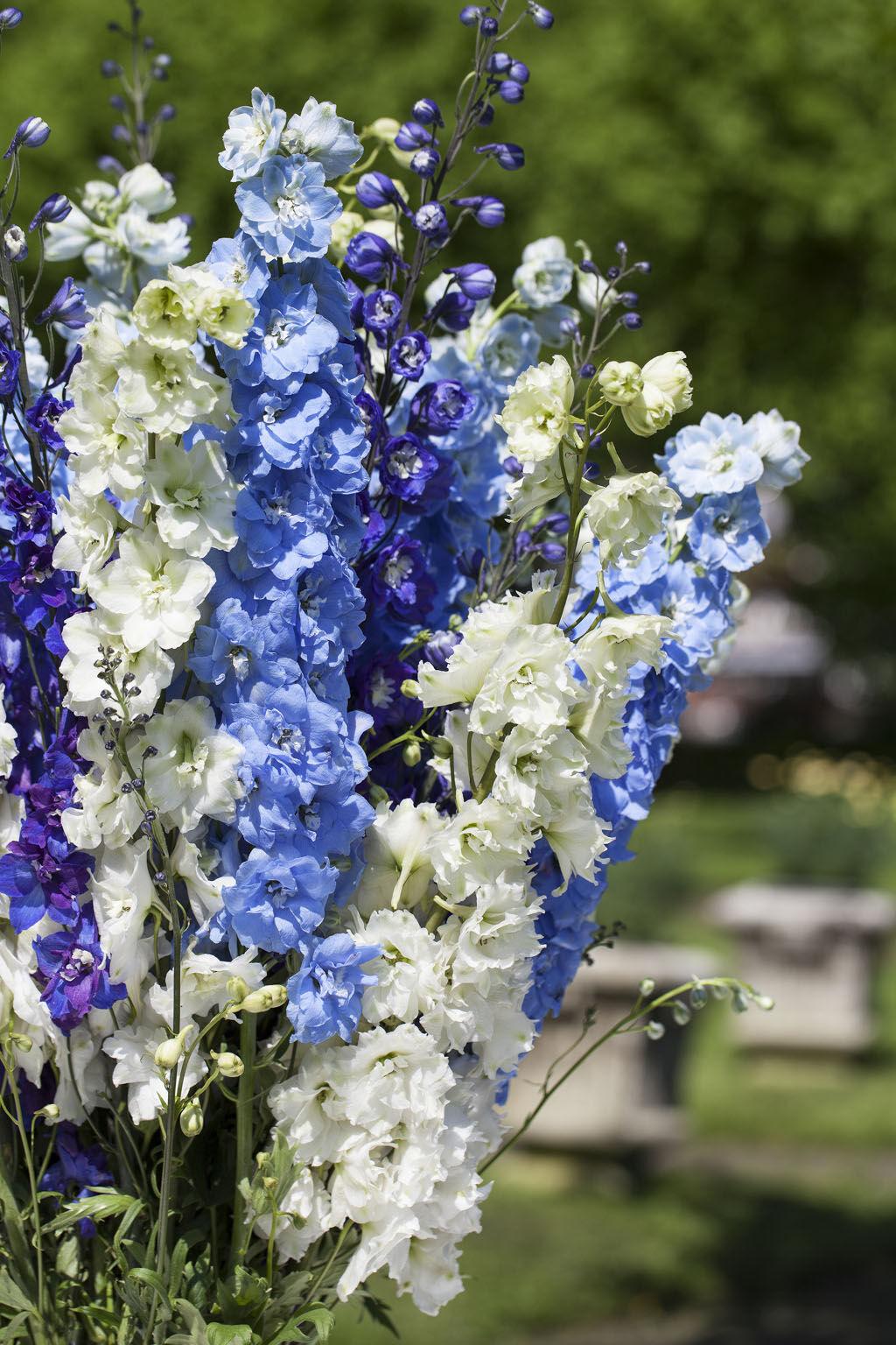 blå og hvite riddersporer