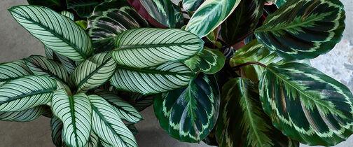 Favorittplantene Calathea