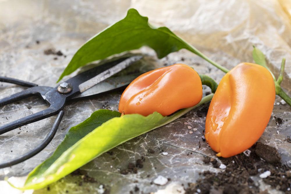 Paprika oransj