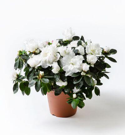 Hvit azalea