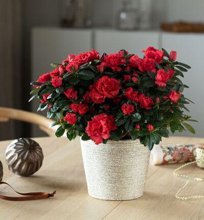 Rød azalea