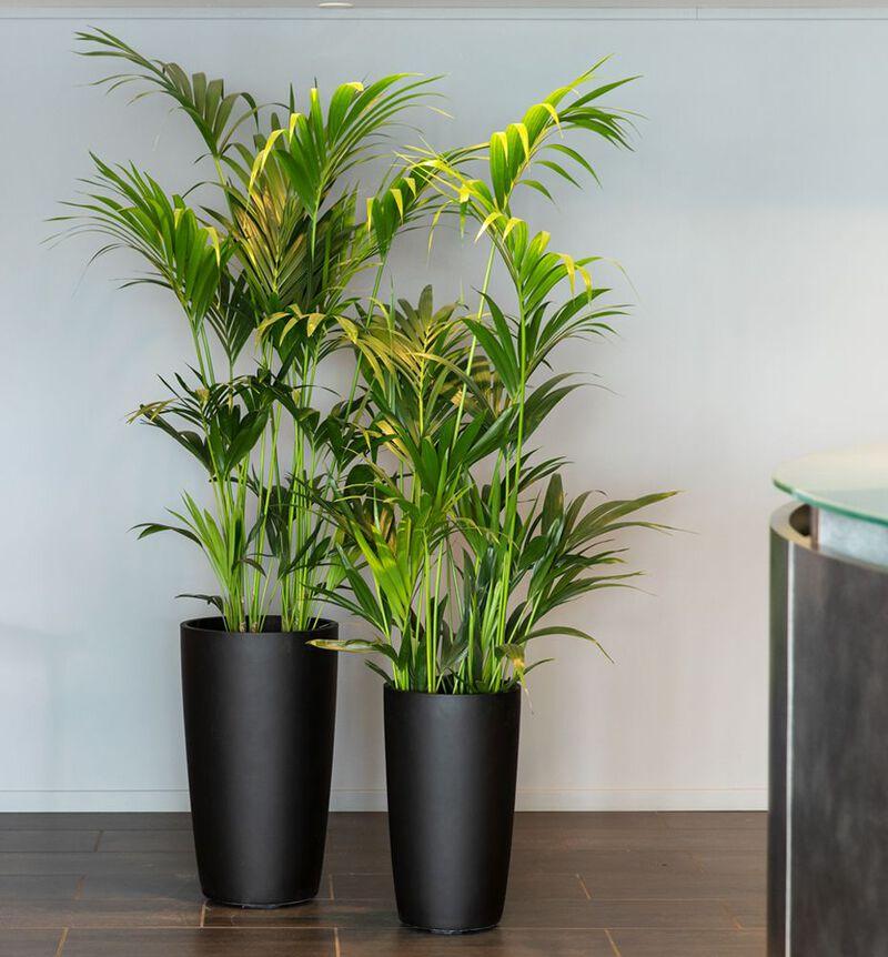 Kentia palme L image number null