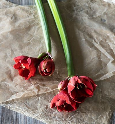 Røde amaryllis 2 pk.