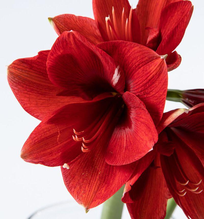 Røde amaryllis 2 pk. image number null