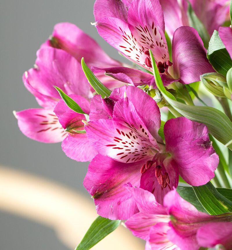 Rosa alstromeria image number null