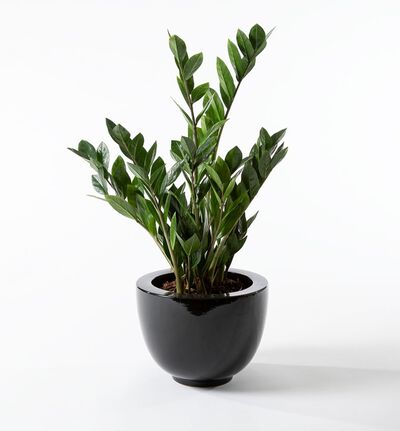 Zamioculcas i sort potte