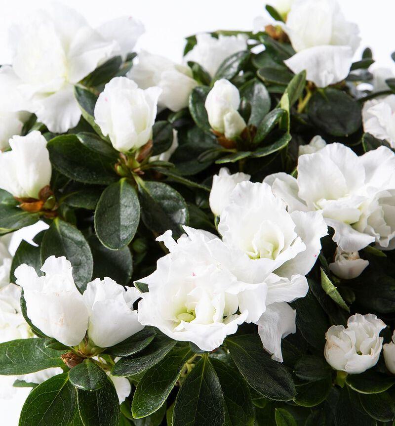 Hvit azalea i gull Shimmer potte image number null