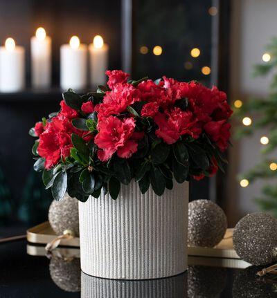 Rød azalea i gull Shimmer potte