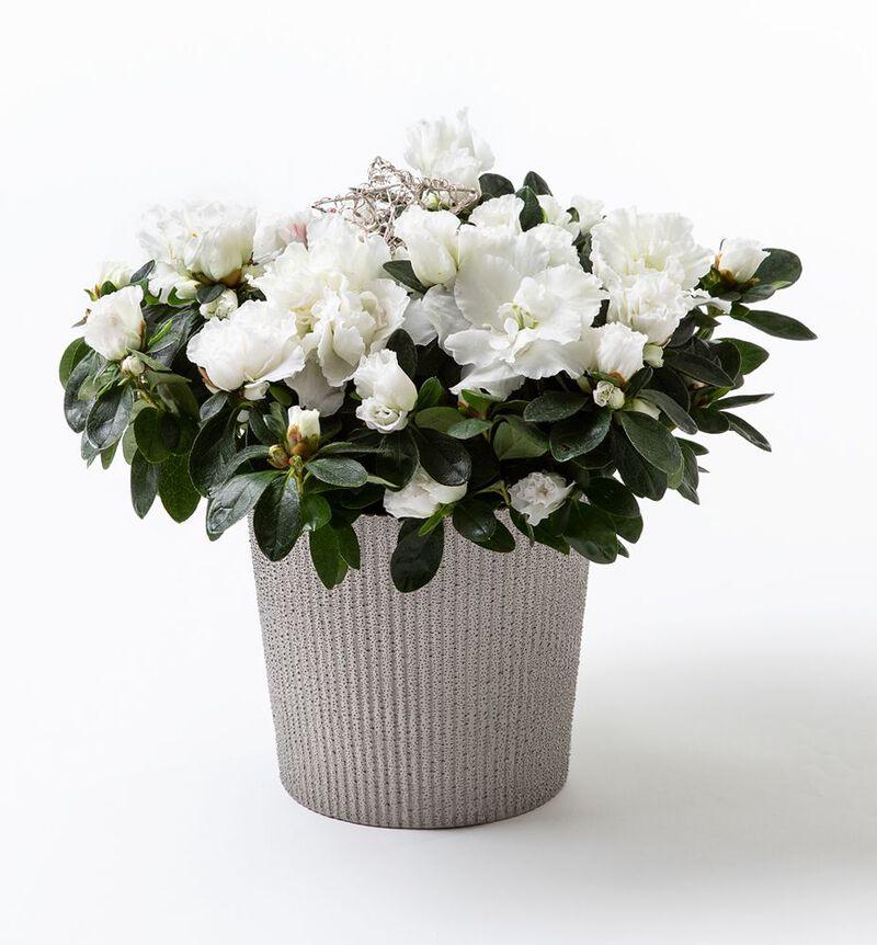 Hvit azalea i sølv Shimmer potte image number null