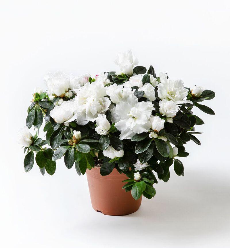 Hvit azalea image number null