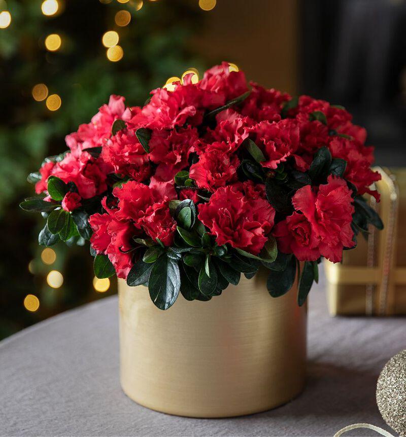 Rød azalea image number null