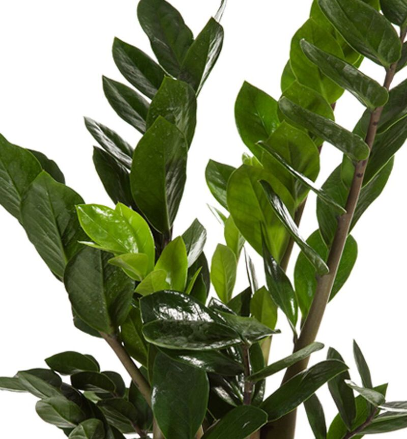 Zamioculcas image number null