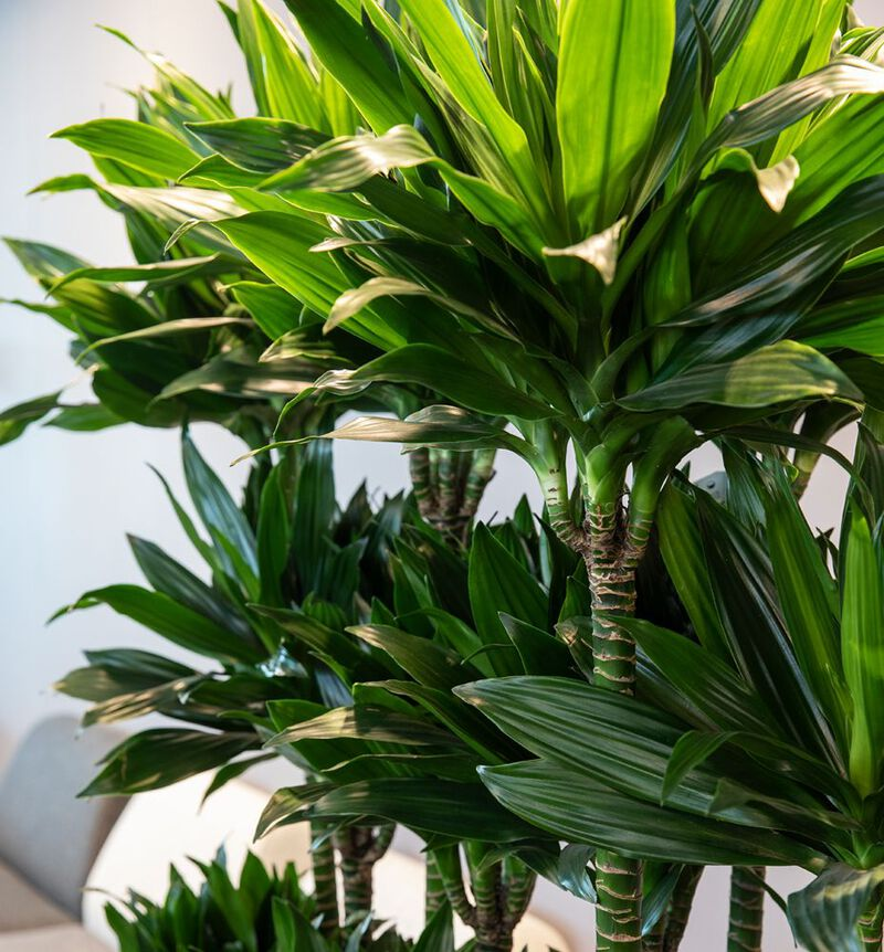 Dracaena fragrans Lemon Lime  image number null