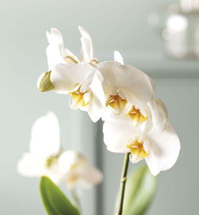 Hvit orkidé i gaveposer med bobler
