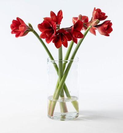 4 stk røde amaryllis gavepakket