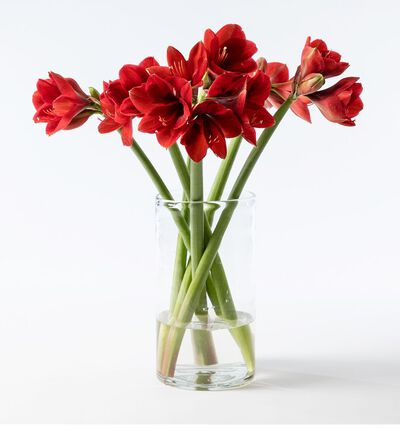 6 stk røde amaryllis gavepakket
