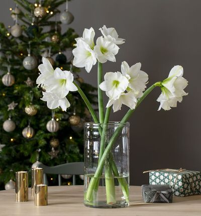 4 stk hvite amaryllis gavepakket