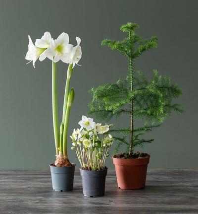 Plantepakke med julens hvite klassikere