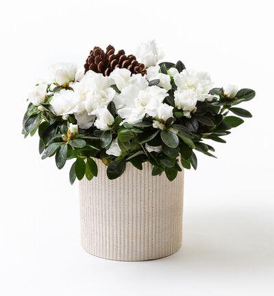 Hvit azalea i gull Shimmer potte