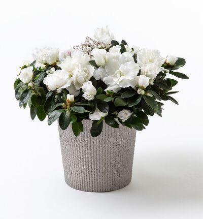 Hvit azalea i sølv Shimmer potte
