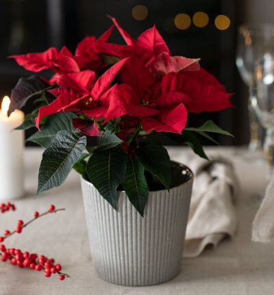 Rød Fairtrade julestjerne i gull potte