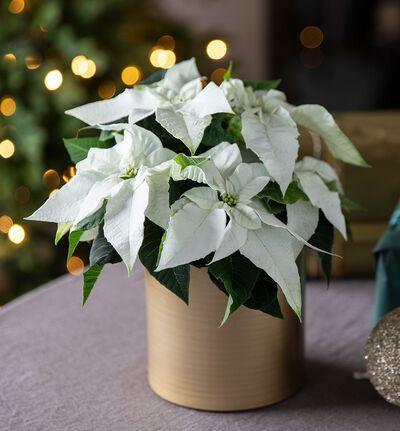 Hvit julestjerne i gullpotte