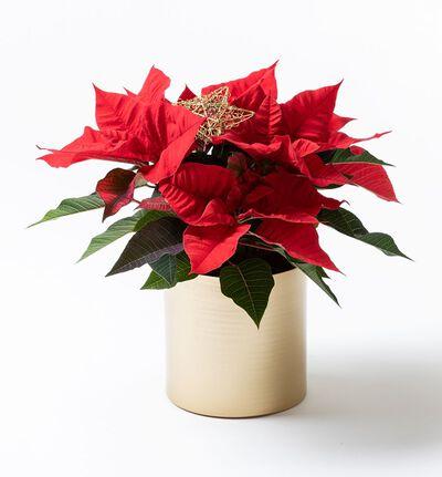 Rød julestjerne i gullpotte