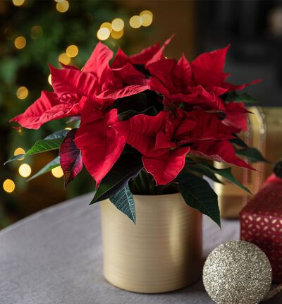 Rød Fairtrade julestjerne medium