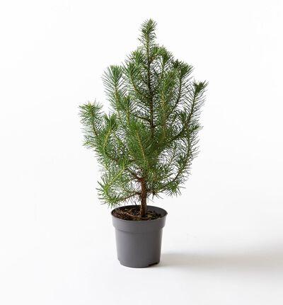 Pinus 'Silver Crest'