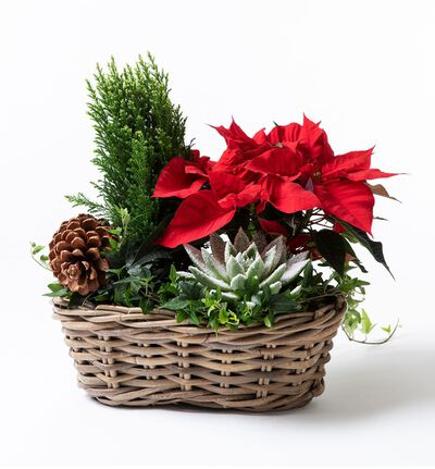 Julegruppe med rød julestjerne L
