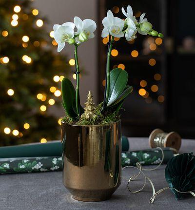 Hvit orkidè i gullpotte