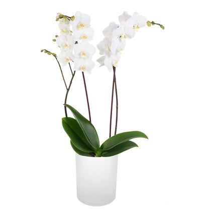 Hvit orkidé i glasspotte