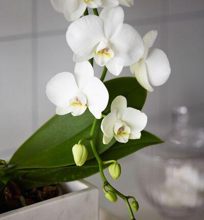 Hvit orkidé på bøyle i gaveeske
