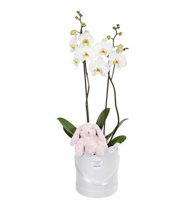 Hvit orkidé i gaveeske med bamse