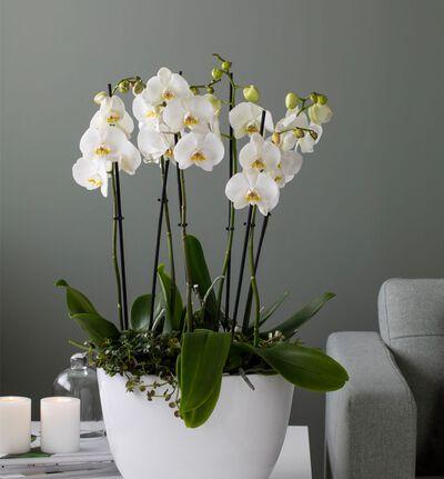 Hvit orkidé sammenplanting L