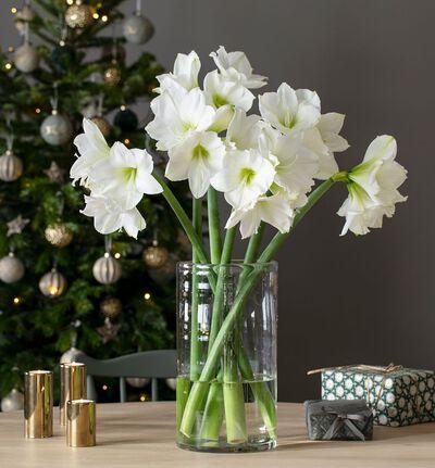 6 stk hvite amaryllis gavepakket