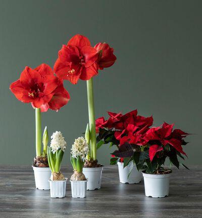 Plantepakke med julens røde klassikere