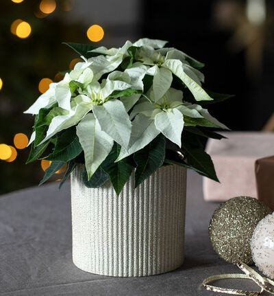 Hvit julestjerne i gavepose med bobler