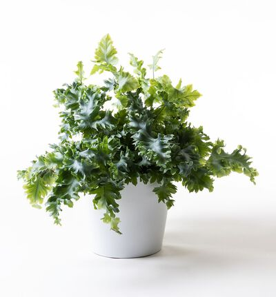 Phlebodium Davana i hvit potte