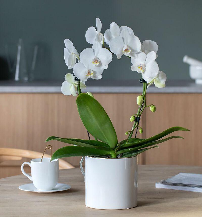 Hvit orkidé på bøyle i hvit potte image number null