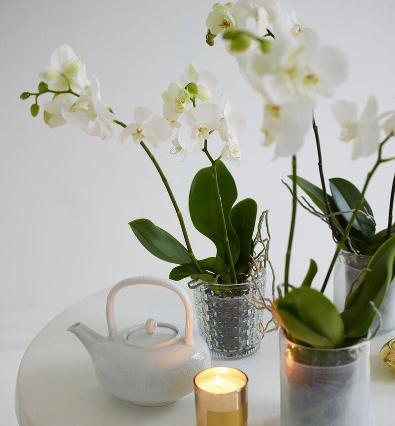 Hvit orkidé i hvit potte S image number null