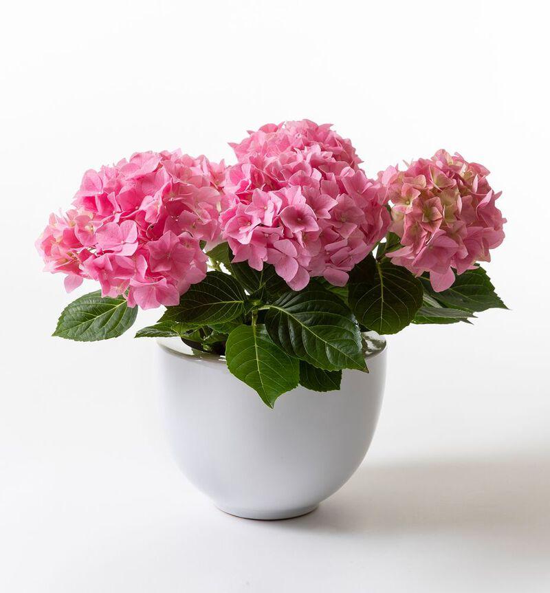 Rosa hortensia i hvit potte image number null