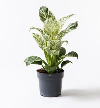 Philodendron White measure