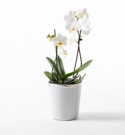 Hvit orkidé i hvit potte S