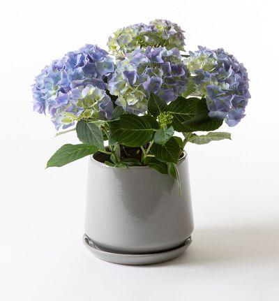 Blå hortensia i Eternity potte