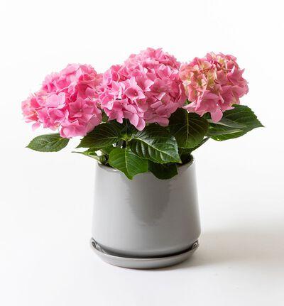 Rosa hortensia i Eternity potte