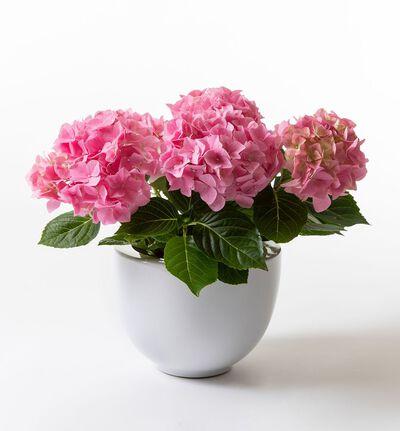 Rosa hortensia i hvit potte