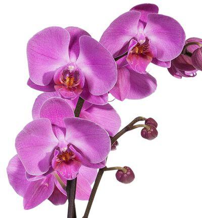 Lilla orkidé i glasspotte