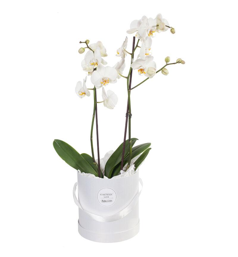 Hvit orkidé i gaveeske image number null