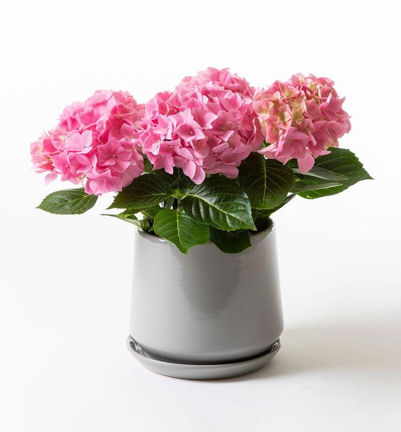 Rosa hortensia i Eternity potte image number null